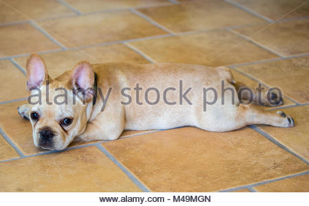 French Bulldog Puppy - Canis lupus familiaris - Stock Photo