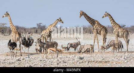 African wildlife at a busy watering hole in the Namibian savanna - Stock Photo