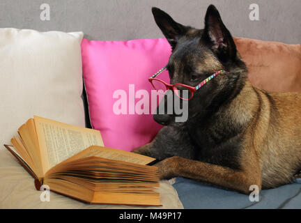 a Malinois Belgian Sheepdog reads a book with a pair of glasses on the muzzle lying on cushions in cocooning mode - Stock Photo