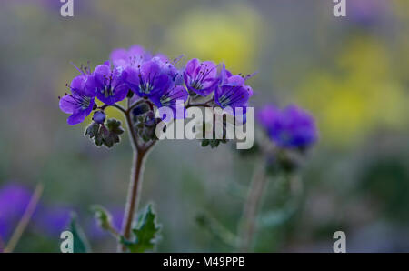 Notch-Leaved Phacelia - Stock Photo