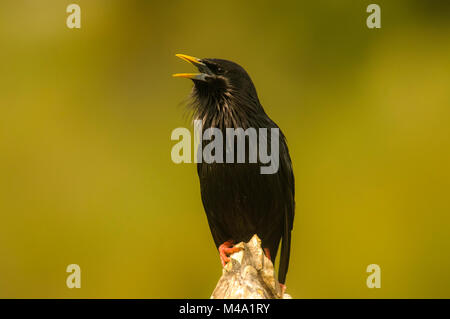 Spotless Starling (Sturnus unicolor) display behaviour, malesturnidae - Stock Photo