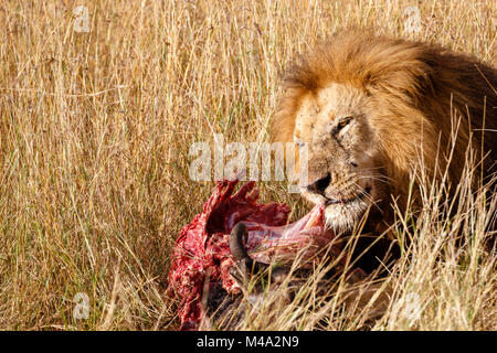 Mature male lion (Panthera leo) eats his prey, the red bloodied ribs of the carcass of a Cape buffalo, in long grass, - Stock Photo