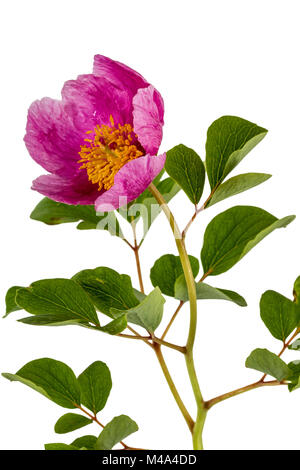 Pink peony flower, isolated on white background