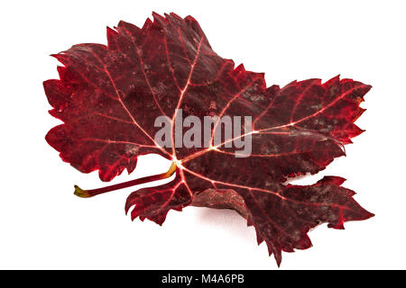 Red the fallen autumn leaf, isolated on white background - Stock Photo