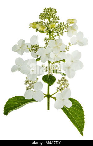 Flowers of Hydrangea  isolated on a white background - Stock Photo