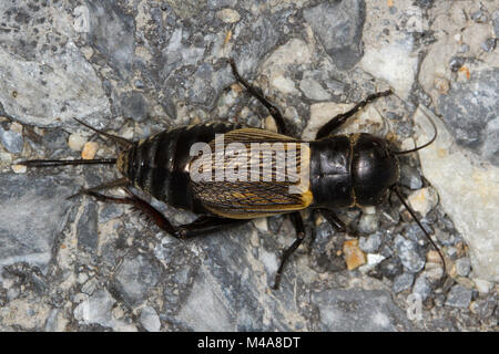 female Field Cricket (Gryllus campestris) on a rock - Stock Photo