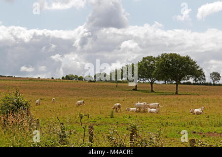 Landscape with white cattle in Burgundy, France - Stock Photo
