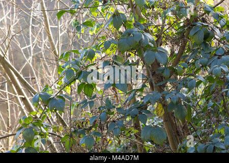 Brombeere, Echte Brombeere, Ranke, Ranken, rankend, Brombeerranke, Brombeerranken, Rubus fruticosus agg., Rubus - Stock Photo