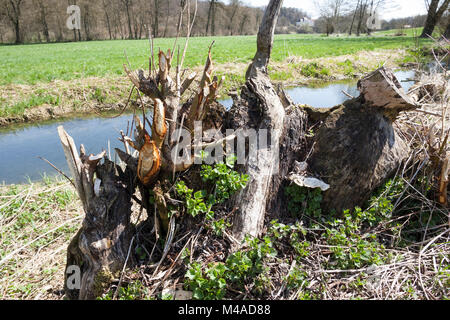 Europäischer Biber, Fraßspur an einem Baumstamm, Biber-Spur, Biberspur, Altwelt-Biber, Castor fiber, Eurasian beaver, - Stock Photo