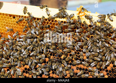 A hive frame covered with honey bees - Stock Photo