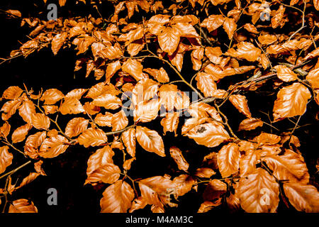 Leaves of the European beech - Stock Photo