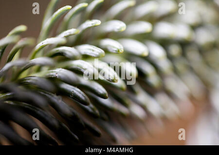 Detail of a Nordmann fir, Abies nordmanniana, - Stock Photo