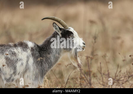 A head and shoulder shot of Goat (Capra aegagrus hircus) grazing in rough pasture. - Stock Photo