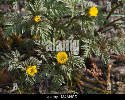 Pheasant's eye or Adonis amurensis, a perennial plant native to eastern Asian countries, here a springtime sight - Stock Photo