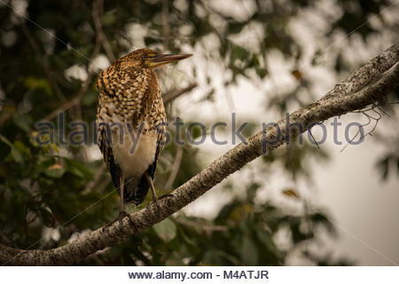 Rufescent tiger heron perched on diagonal branch - Stock Photo