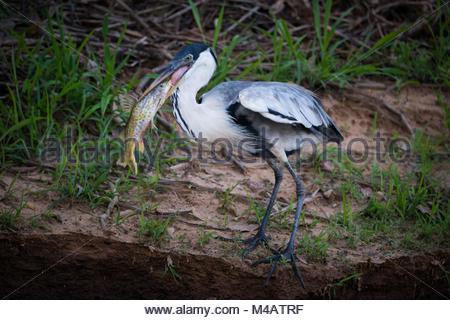 Cocoi heron standing with fish in beak - Stock Photo