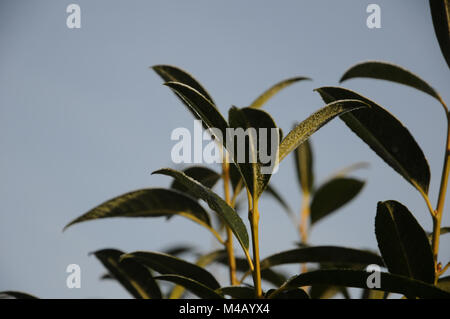 Prunus laurocerasus, Laurel cherry, White frost - Stock Photo