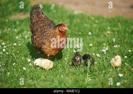 domestic fowl,Gallus gallus domesticus,chicken,meadow,stand - Stock Photo