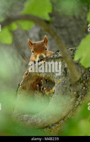 Eurasian red squirrel (Sciurus vulgaris),look naughty out of a trunk,Stuttgart,Baden-Wurttemberg,Germany - Stock Photo