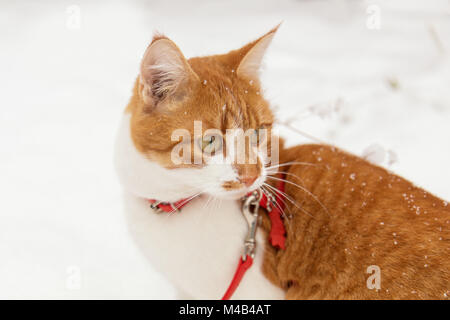 Red and white kitty cat in red collar - Stock Photo