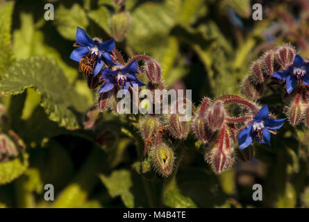 Blue starflower known as Borage officinalis attracts honeybees Apis mellifera - Stock Photo