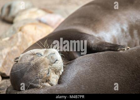 A pair of Oriental Short-Clawed Otters cuddling - Stock Photo
