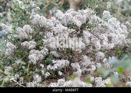 White, fuzzy seedheads of the UK native climber, Clematis vitalba, add winter interest in a woodland - Stock Photo