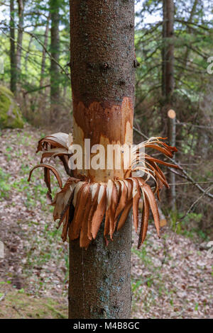 Ring debarked trees in the woods - Stock Photo