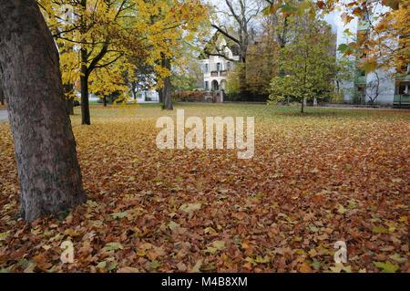 Platanus acerifolia, Plane tree, Autumn leaves - Stock Photo