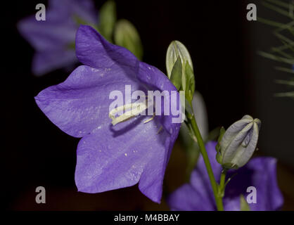 Peach-leaved bellflower Campanula persicifolia - Stock Photo