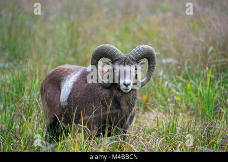 European mouflon (Ovis gmelini musimon / Ovis ammon / Ovis orientalis musimon) ram with big horns in grassland in - Stock Photo