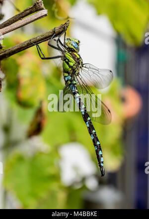 Libelle an einem Busch sitzend als Makrofoto - Stock Photo