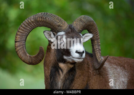 European mouflon (Ovis gmelini musimon / Ovis ammon / Ovis orientalis musimon) close up portrait of ram with big - Stock Photo