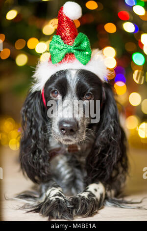 spaniel dog in a gnome cap lies on the floor near a Christmas tree with garlands - Stock Photo
