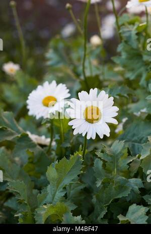 Leucanthemum vulgare. Oxeye daisies in the garden. - Stock Photo