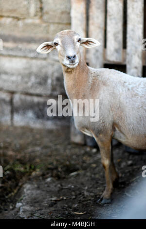 Portrait of a sheep in the yard on a farm. - Stock Photo
