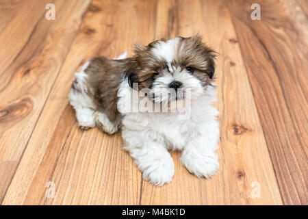 Young Chi Chu dog lying on parquet floor - Stock Photo