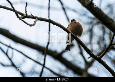A male chaffinch (Fringilla coelebs) with one leg perched on a tree branch - Stock Photo