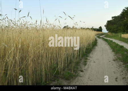 Ground road in the middle of the steppe. Golden spikes on one side and green plantations on the other - Stock Photo