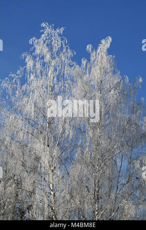 Birch covered with frost - Stock Photo