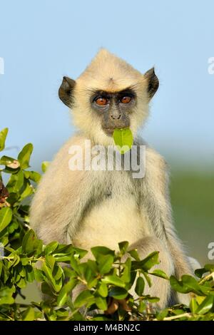 Tufted gray langur (Semnopithecus priam),cub sitting on tree with leaf in mouth,eating,Bundala National Park,Sri - Stock Photo
