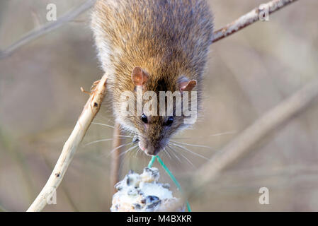 rat on a fat ball - Stock Photo