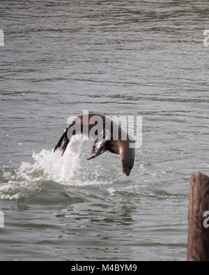 Sea lion jumping out of the water like a dolphin - Stock Photo