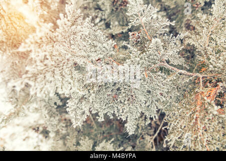 Branch thuja cypress tree with cones in snow - Stock Photo