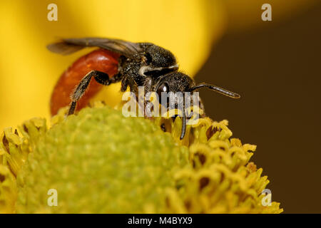 Sphecodes albilabris - Stock Photo