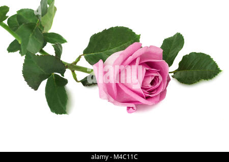 Flower pink rose with leaves on a white background. - Stock Photo