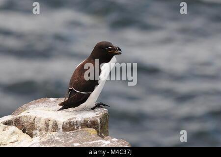 Razorbill on the Isle of May Scotland - Stock Photo