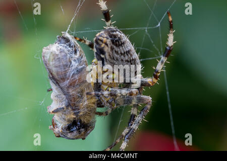A Common Garden Spider in the UK wraps up a caught bee in it's web - Stock Photo