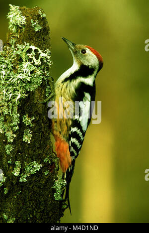 woodpecker; Middle Spotted Woodpecker, Leiopicus medius; - Stock Photo