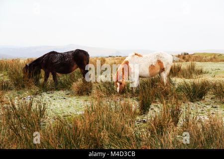 Dartmoor ponies, grazing on Dartmoor, Devonshire, England - Stock Photo